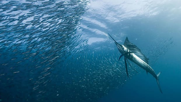 sailfish-600x325