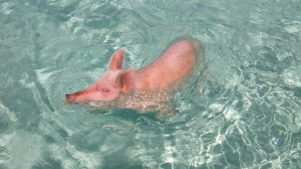 SwimmingSwine