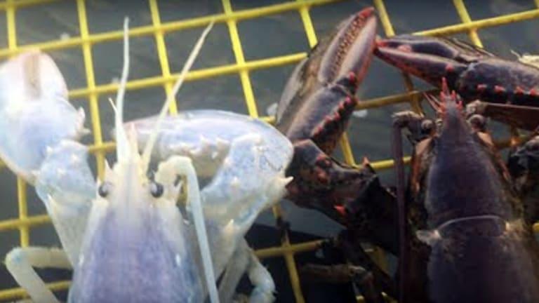 Translucent Lobster Landed (Video)