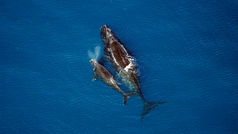 Protecting the Northern right whale