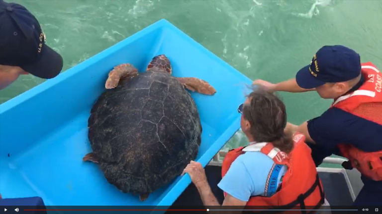 Drifter the Turtle Back in the Wild (Video)