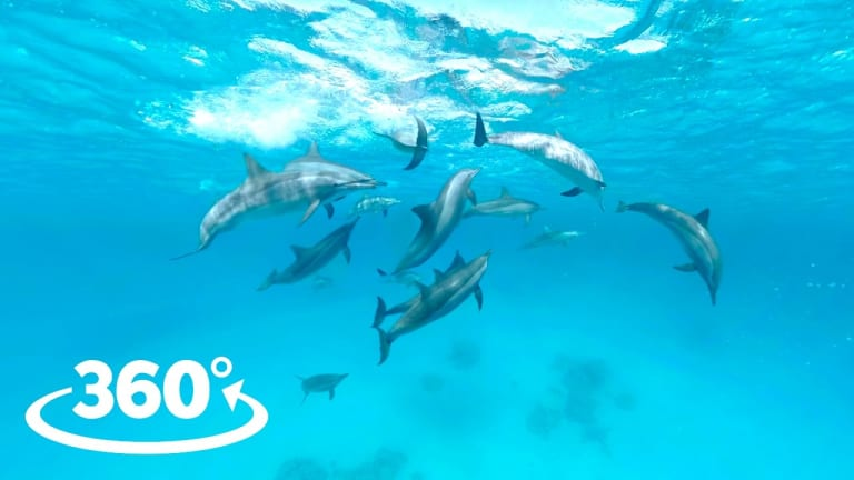 Wild Dolphins: 360° Video Experience