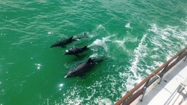 dolphin-pod-on-starboard