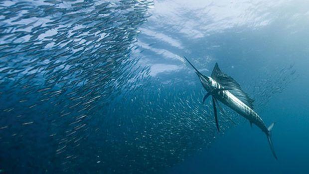 sailfish-600x325