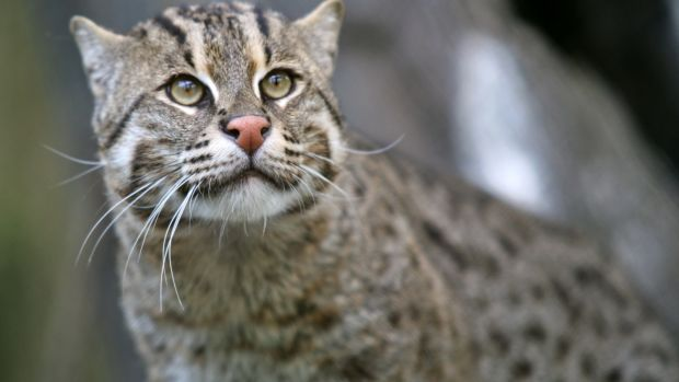Fishing_Cat_(Prionailurus_viverrinus)_3