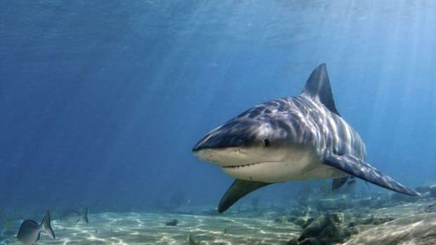 bull-shark_769_600x450