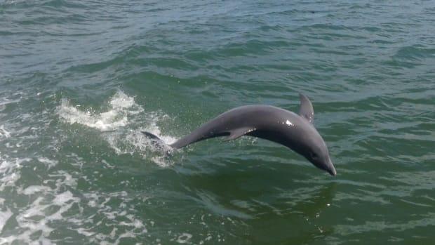 dolphin-flips-1