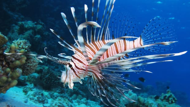Common_lionfish_at_Shaab_El_Erg_reef_(landscape_crop)