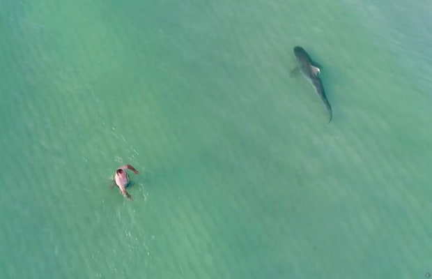 Drone Video of Shark Next to Swimmers: Was It Really a Tiger?