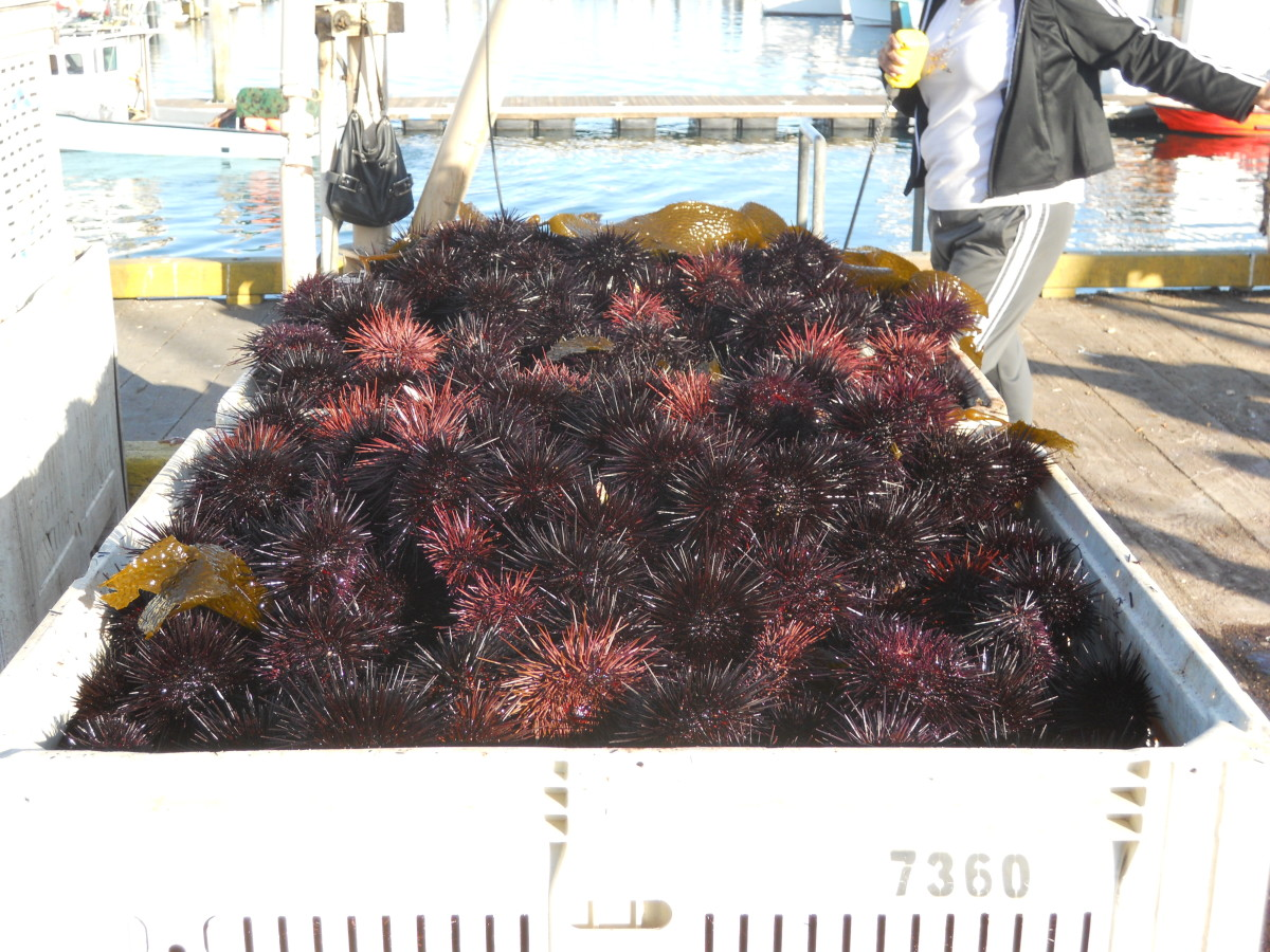 A fresh catch of sea urchins.