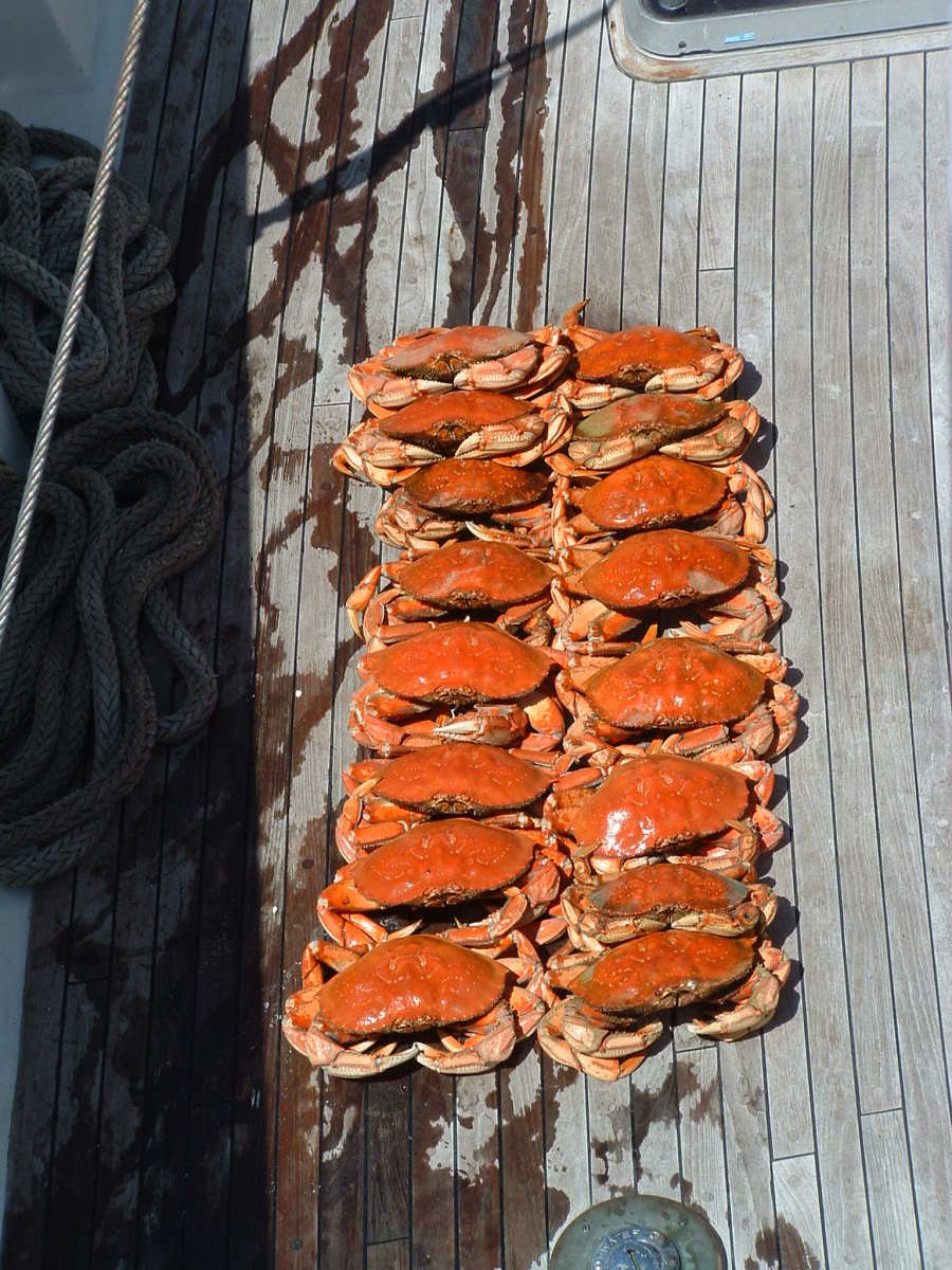 A good day's catch of Dungeness by several licensed crabbers