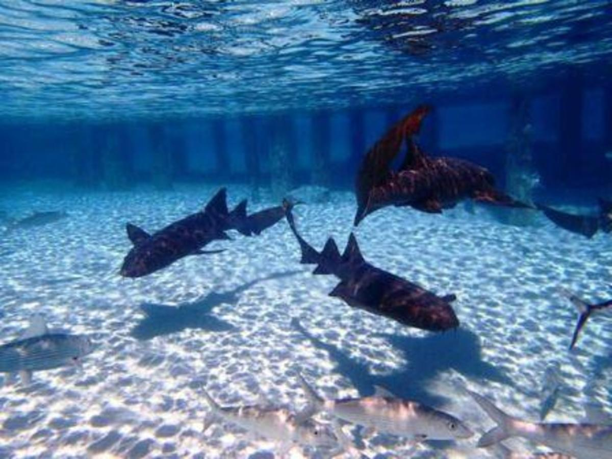 A pack of nurse sharks at Compass Cay.