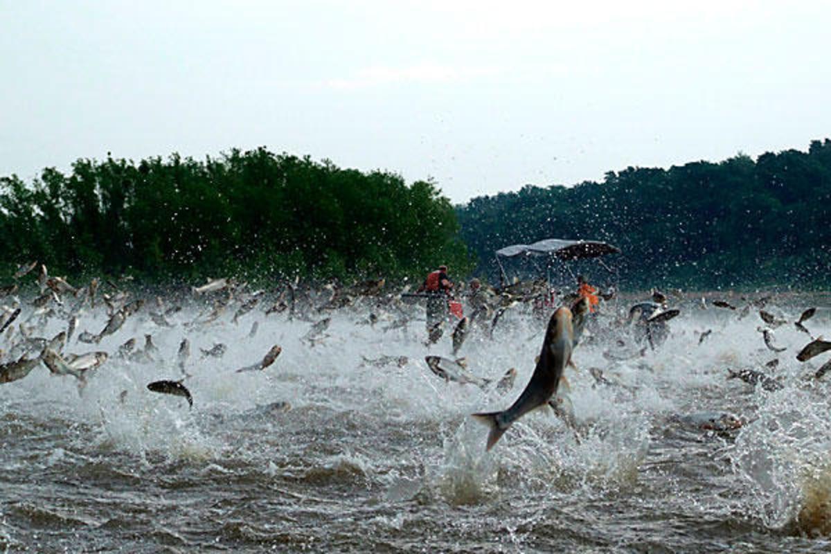 0106-aillinoiscarp-asian-carp-great-lakes-full_full_600