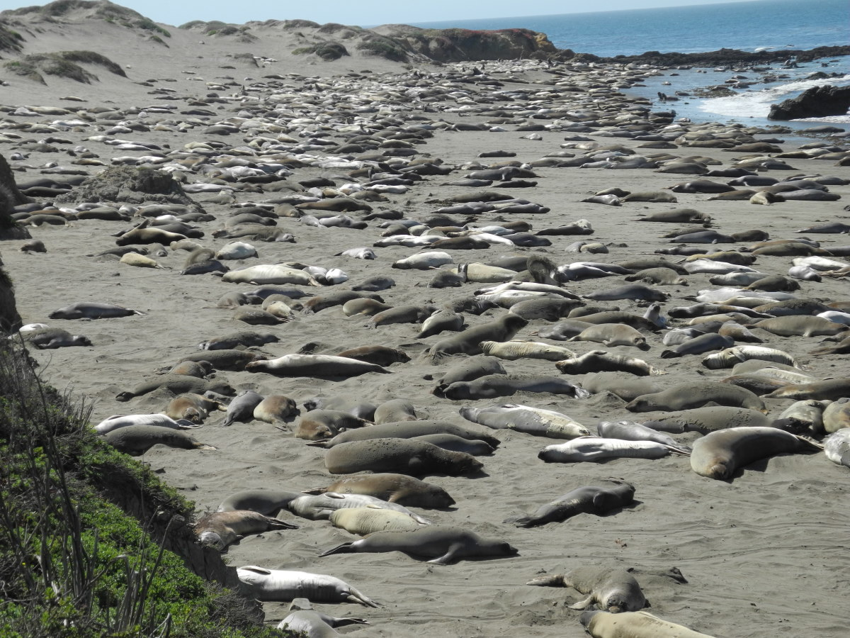 Elephant seals molting on the beaches of Piedras Blancas.