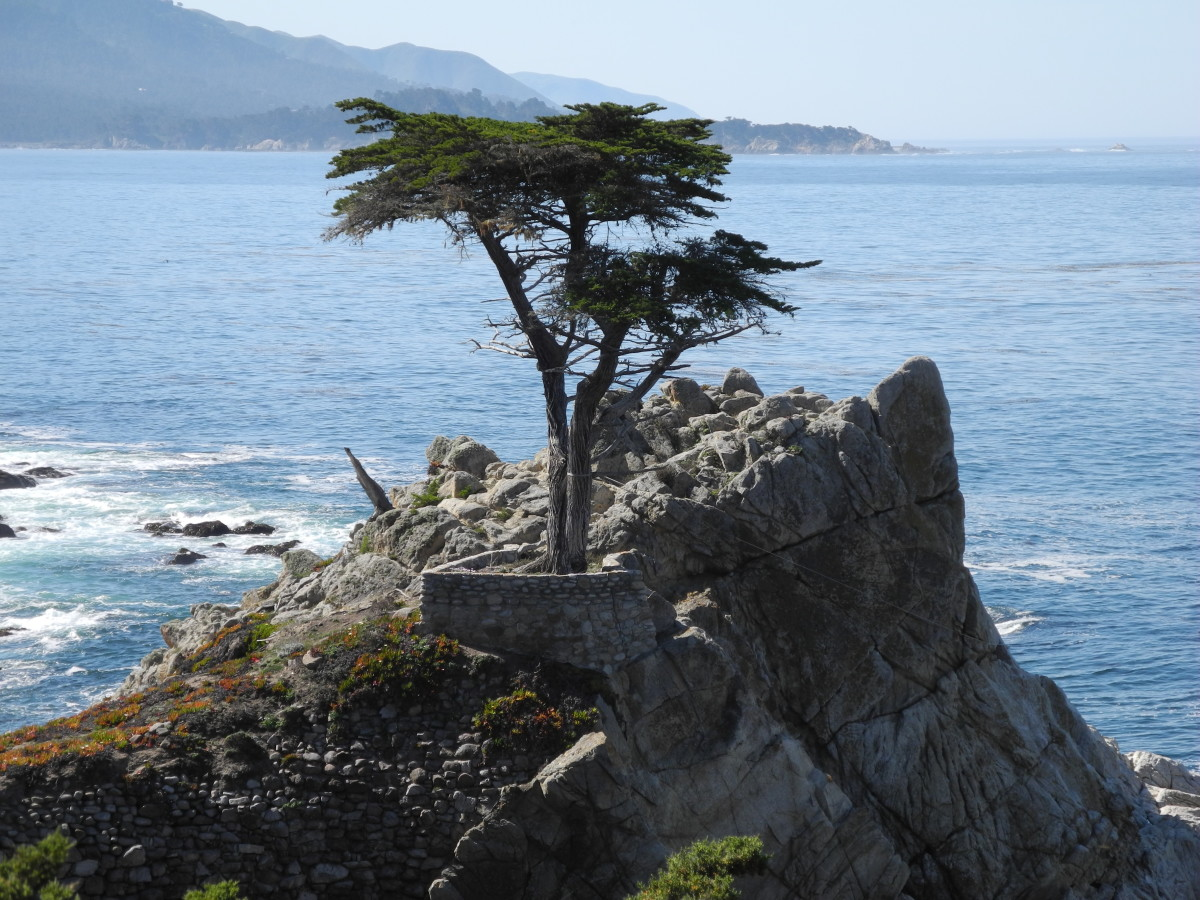 The Lone Cypress tree on 17 Mile Drive, about 250 years old.