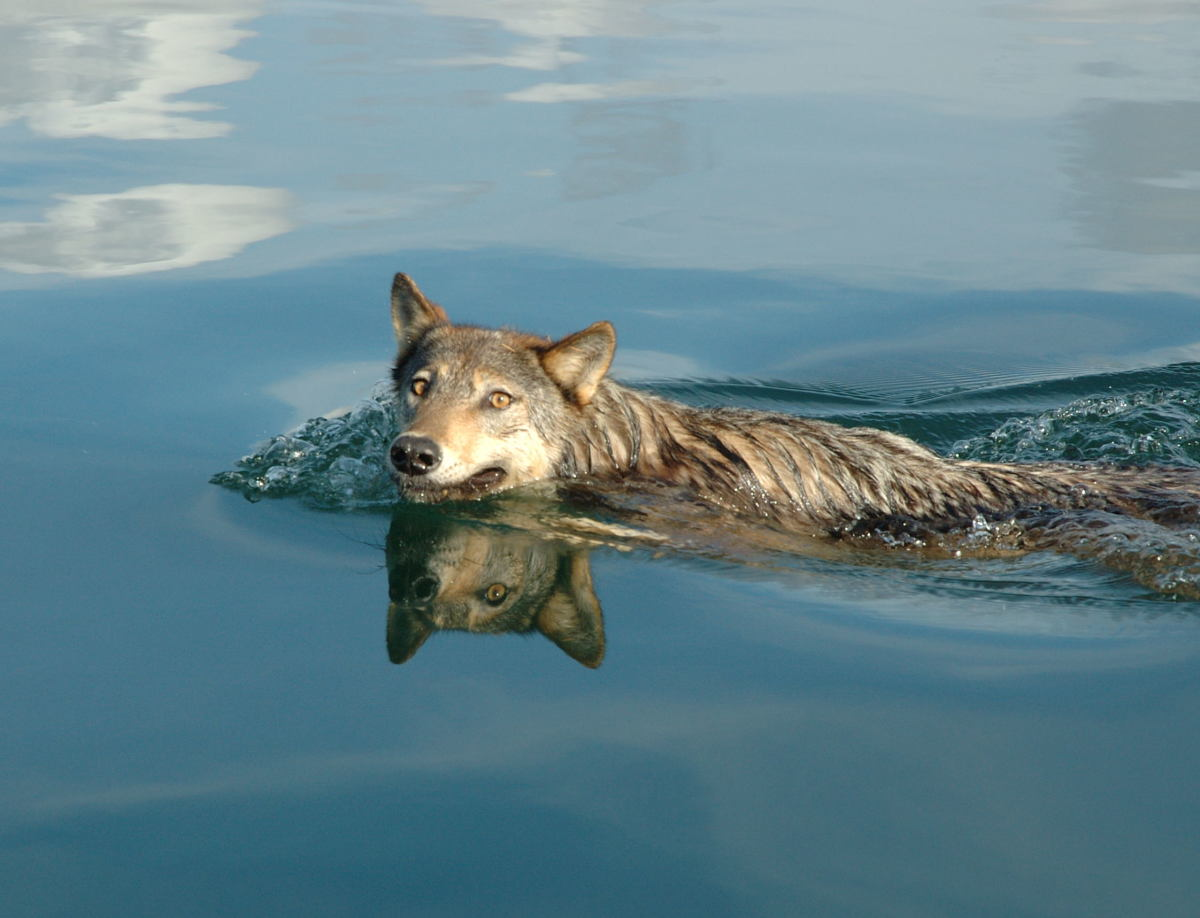 A local wolf swims by. Wildlife is a huge part of Pacific Sapphire's cruising.
