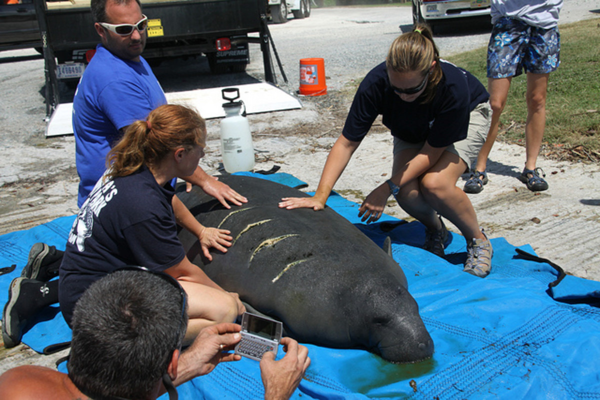 A manatee being cared for by FWC volunteers. The white lines are scars from a propeller strike.
