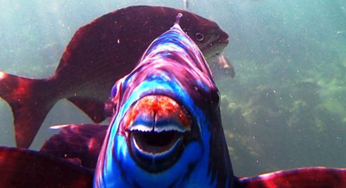 Where else could you meet a friendly Parrot Fish like his one?