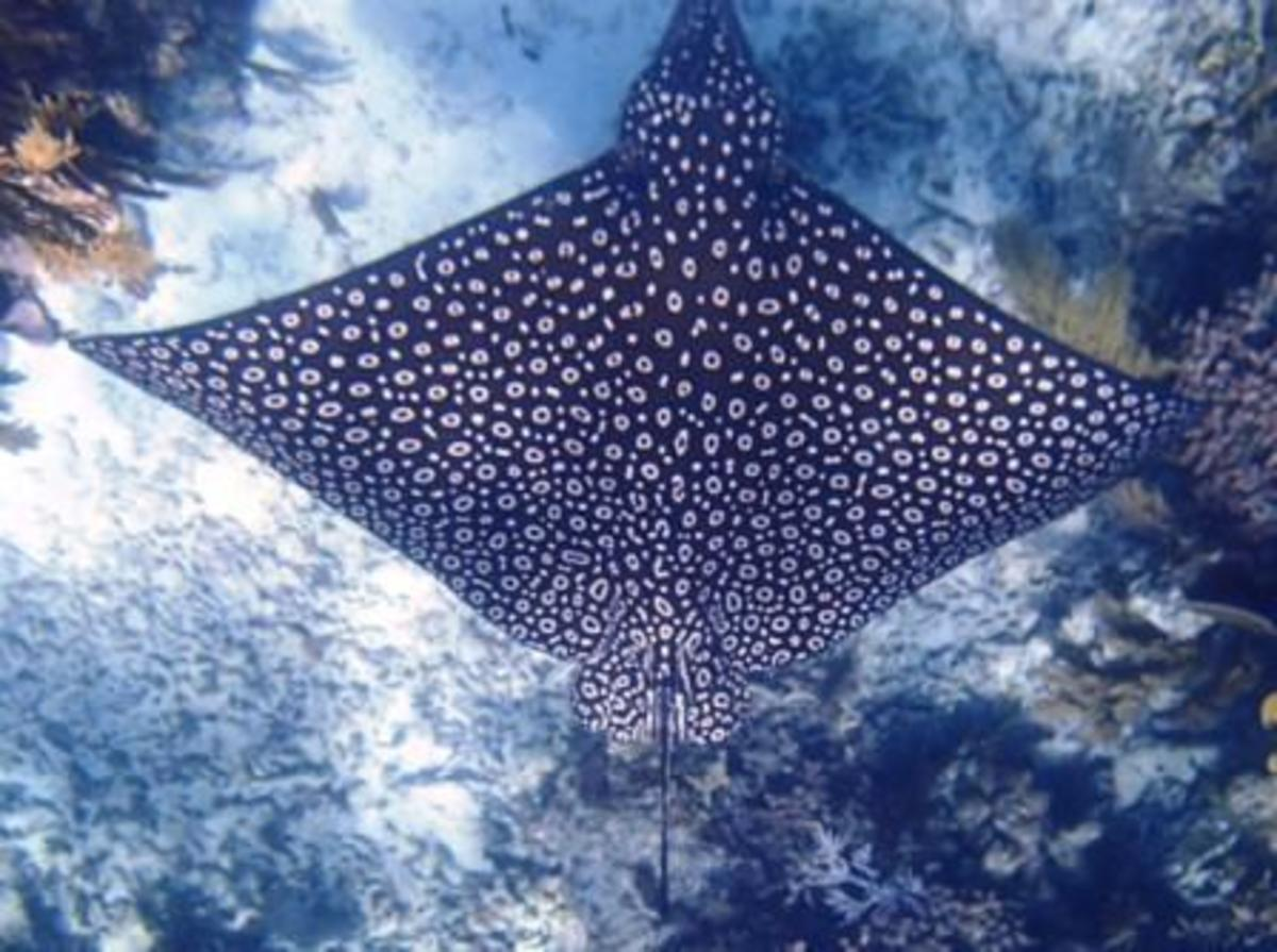The spotted Eagle Ray, our prized sighting of the day.
