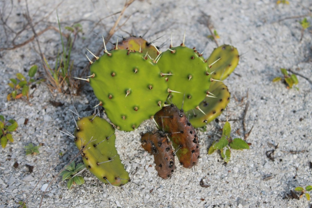 The prickly pear cactus is common on Cayo Costa island.