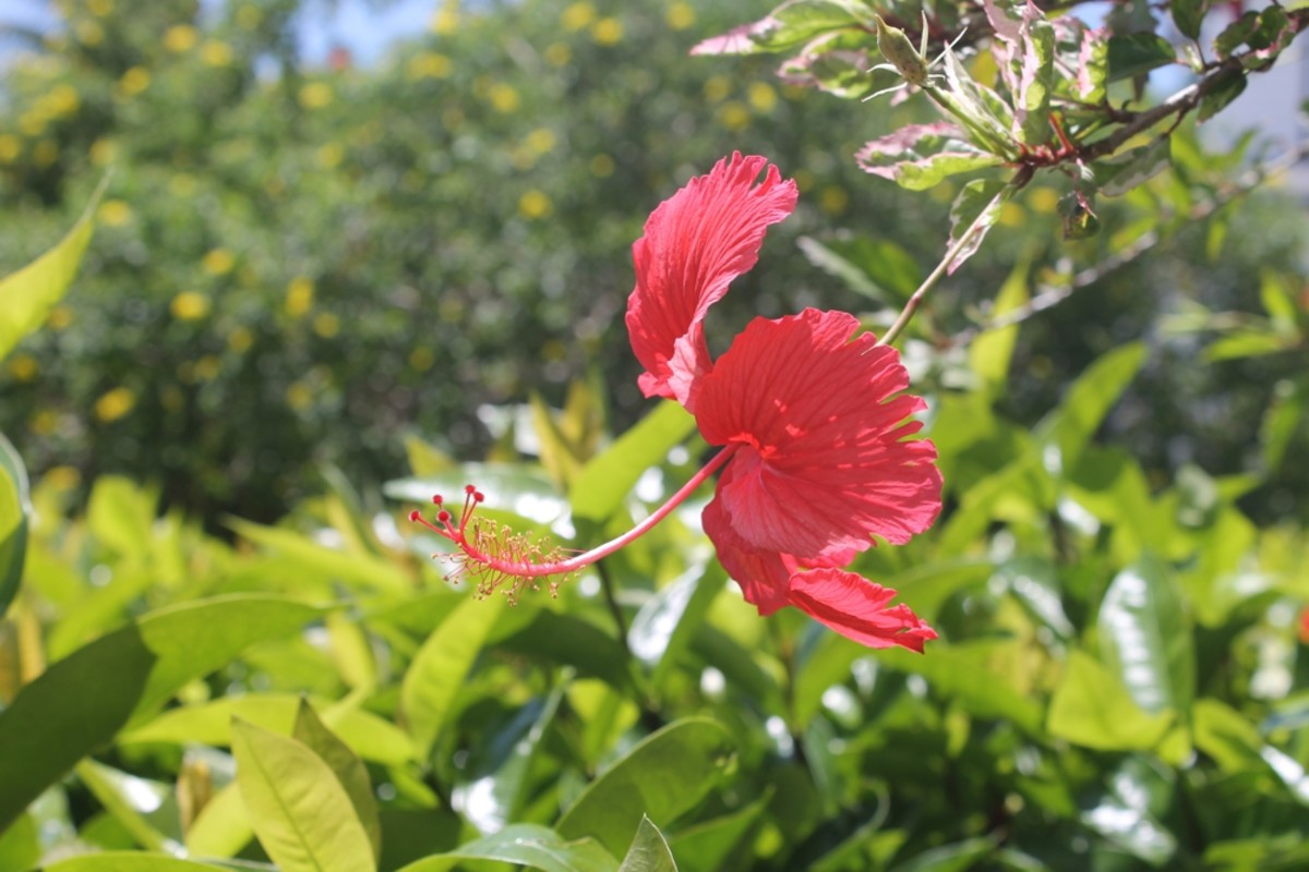 Beautiful flowers are abundant on Useppa Island.