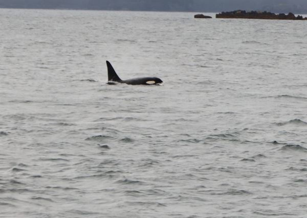 An orca waving us on.