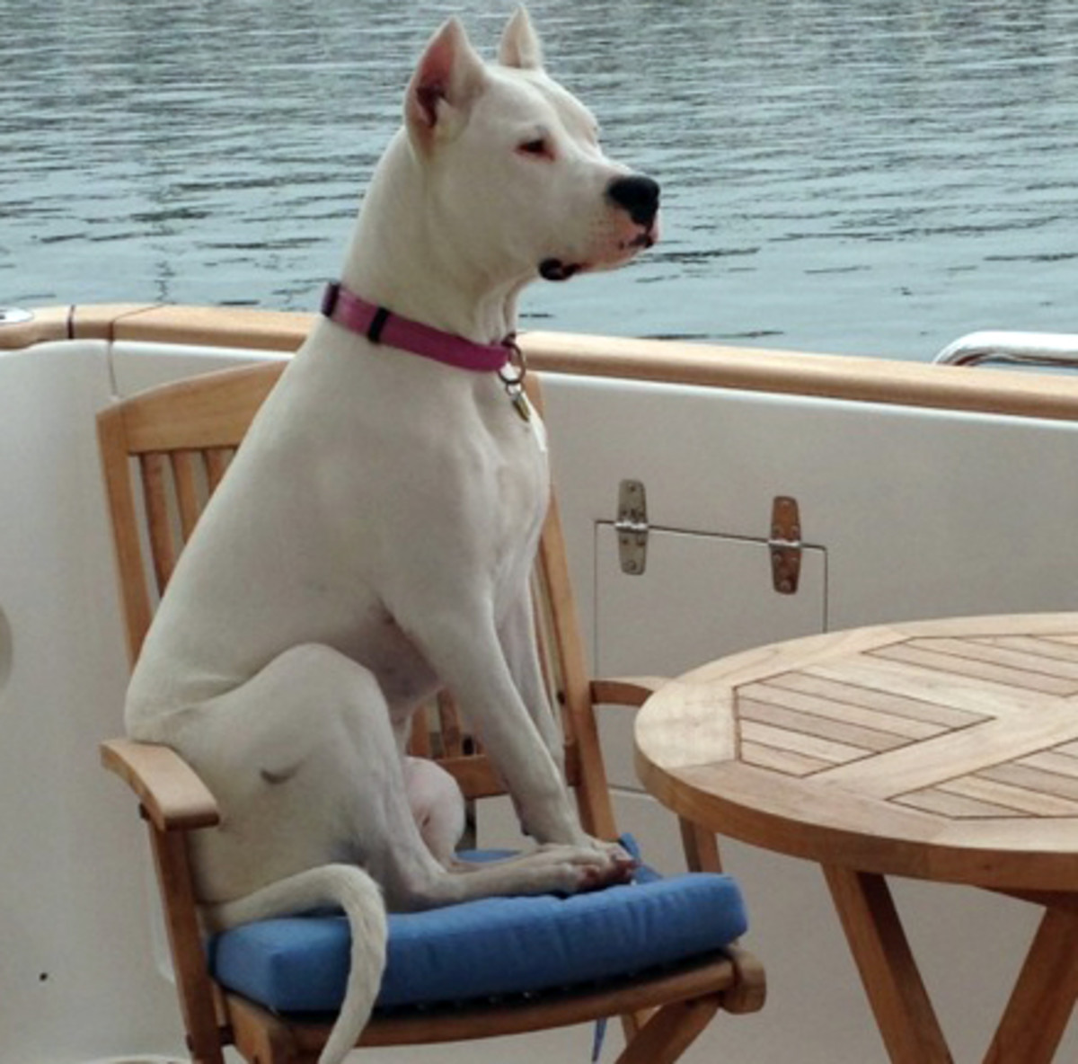 Belle is a 10-month old Dogo Argentino who is our companion aboard N6305 Ithaka, says Anne Evans.