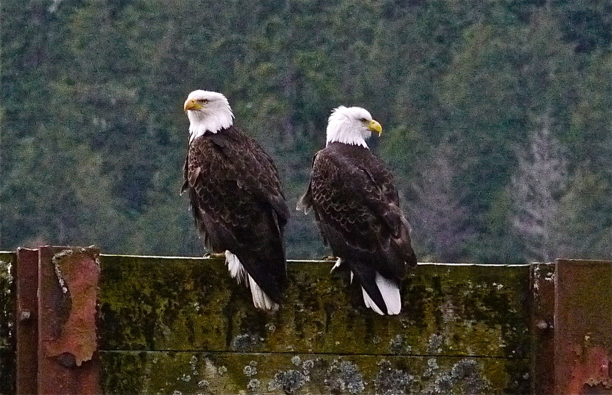 Bald Eagle spotted near Juneau.