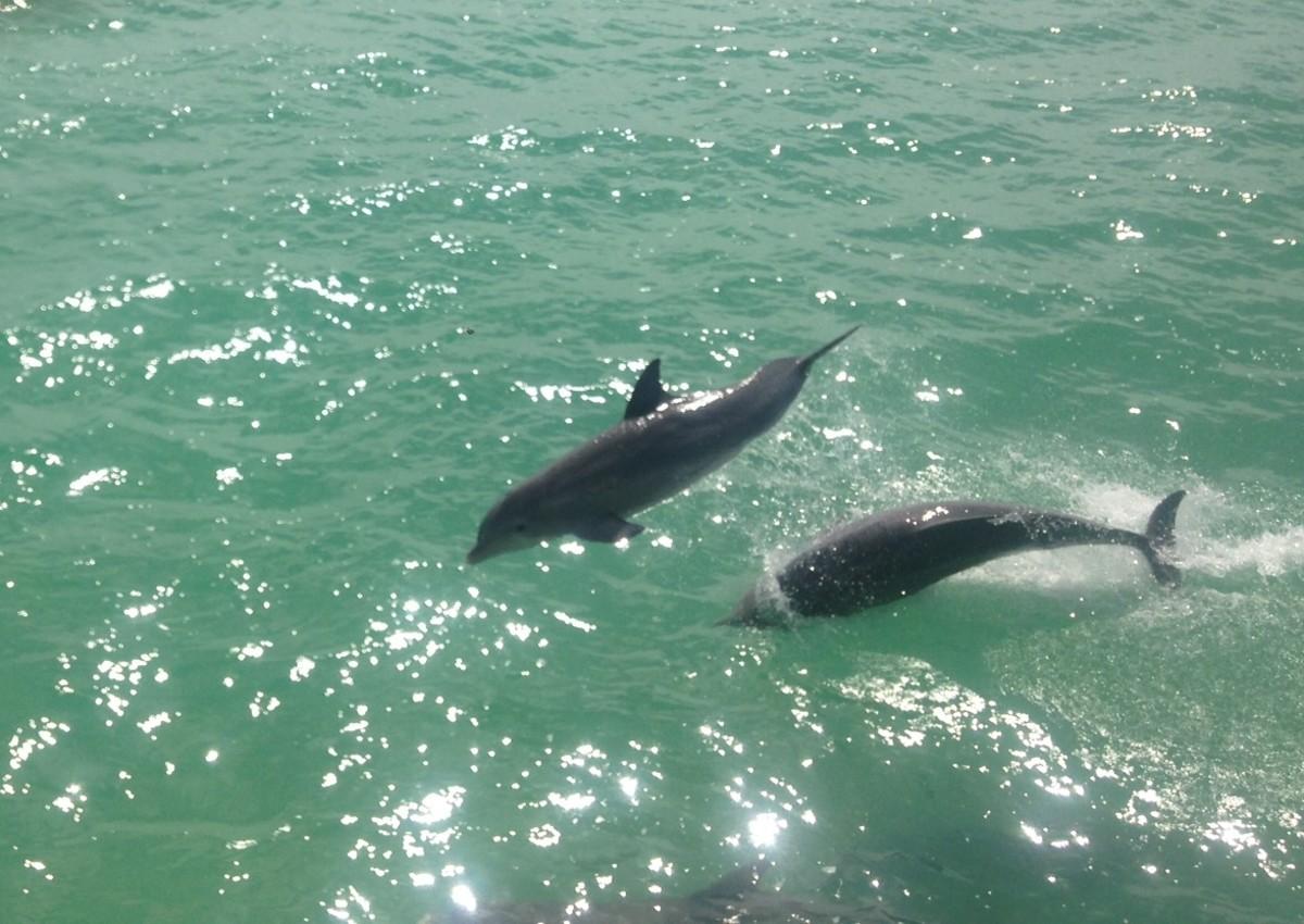 dolphin-pair-leap-off-cowpens-3