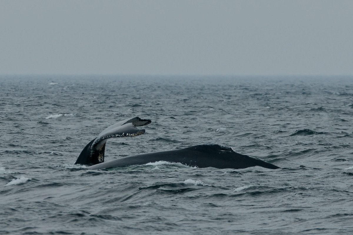 Humpback whales feeding on small baitfish called caplin. Some large bays in Labrador were so filled with feeding humpbacks we had to be very careful under way.