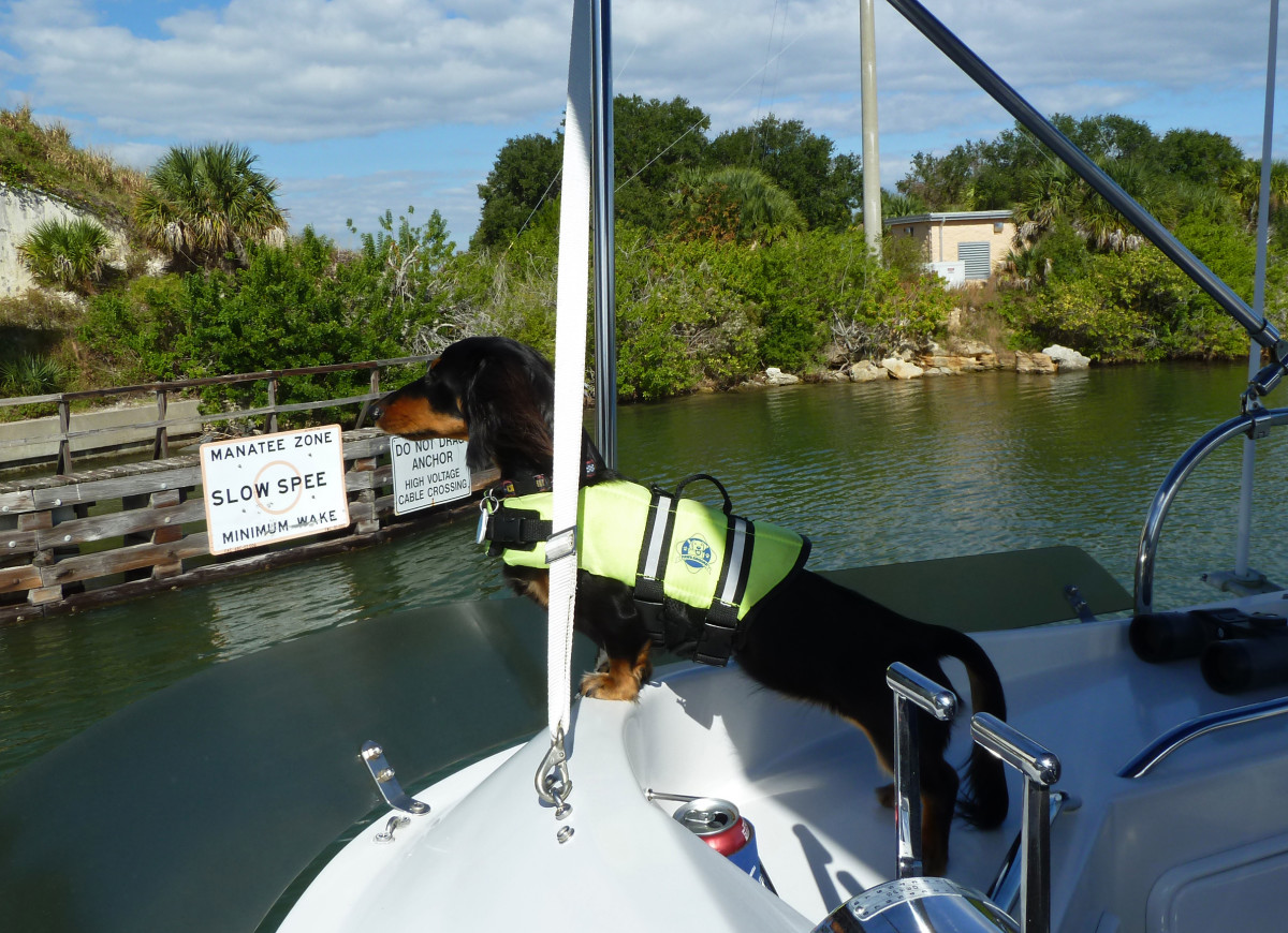 """It was November, 2012, and we were on our PDQ 34, Golden, on our way south from Lake Champlain, Vermont to our home in Cape Coral on the west coast of Florida. This was taken in Haulover Canal which connects the Mosquito Lagoon to the Indian River just north of Cape Canaveral. The canal was lined with fishermen and there were several manatees poking along with us, so there was a lot for Callie to keep an eye on."""