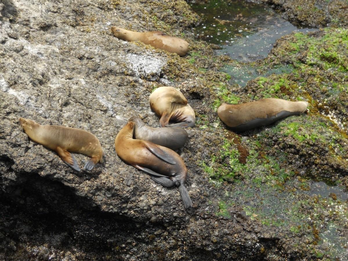 Sea Lions snooze on a sunny day at Santa Barbara Island.