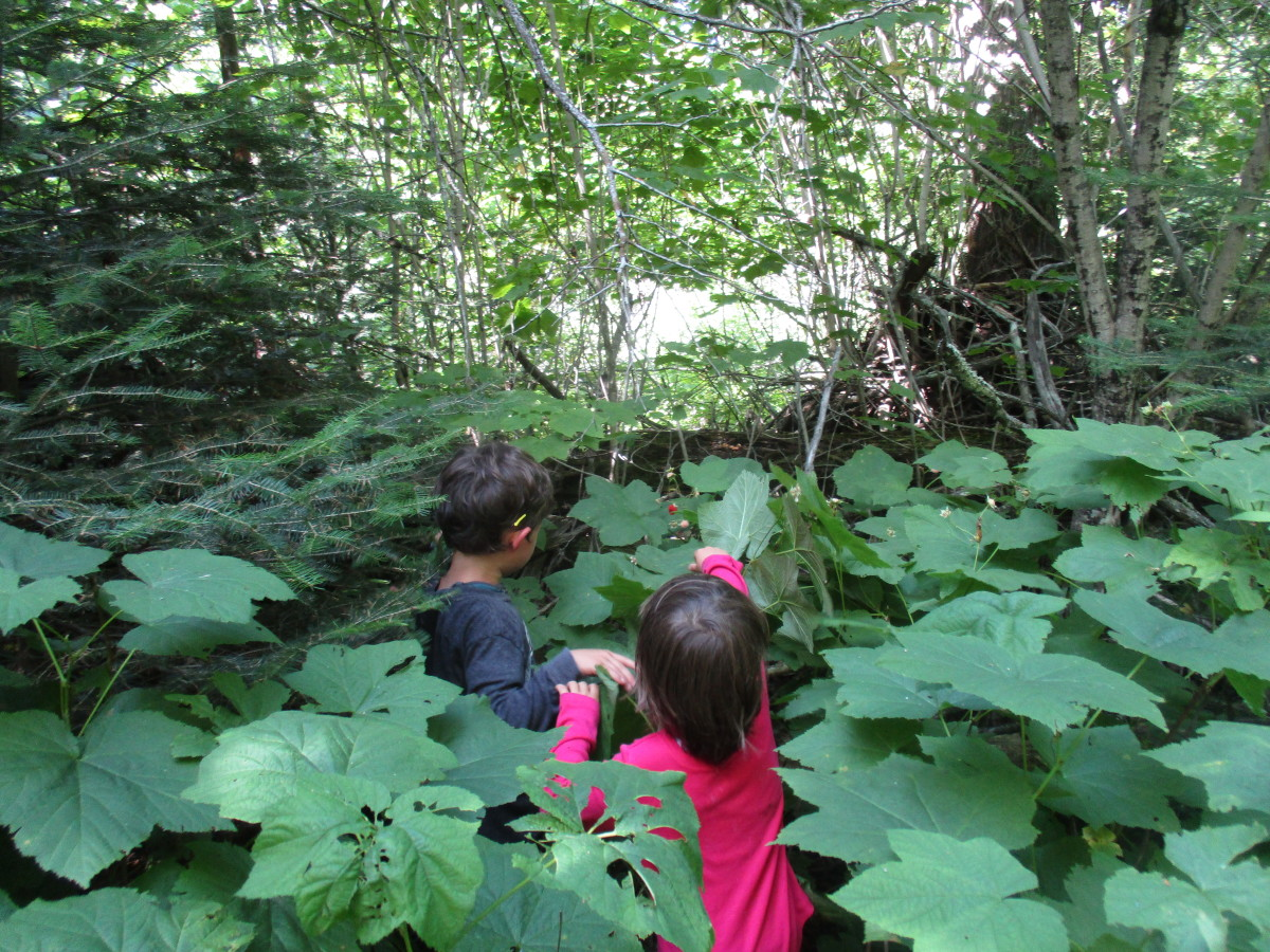 Giant thimbleberry picking for miles at the head of Sleeping Giant Provincial Park.