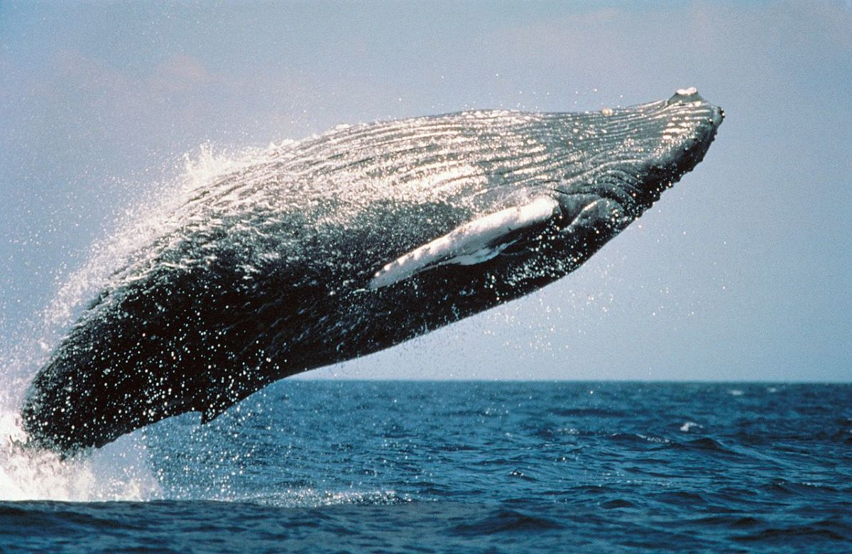 The acrobatics of a humpback whale.