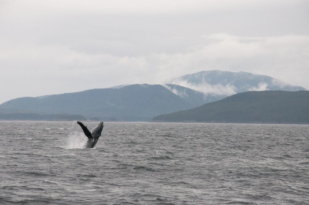 A whale breaches.
