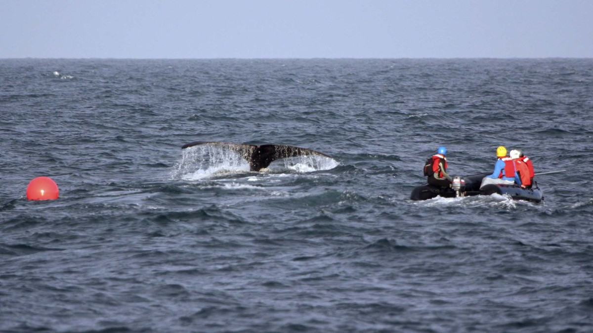 NOAA leads a team of federal and state biologists in an attempt to free a right whale that was entangled in fishing gear.