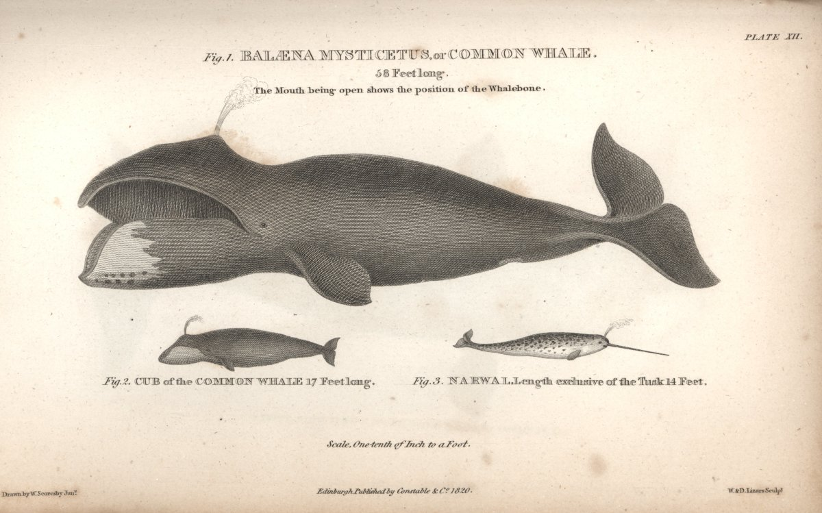 """Baleana mysticetus, or Common Whale."" Scoresby's work helped demythologize the whale with his true-to-life images. This was the Northern Right Whale. From: ""An account of the Arctic regions with a history and description of the northern whale-fishery,"" by W. Scoresby."