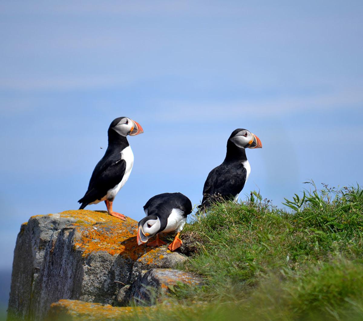 A trio of puffins surveys their surroundings near Elliston.