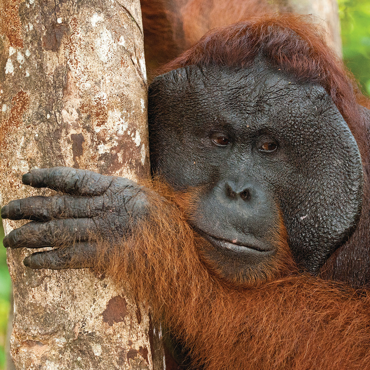 A distant cousin, the orangutang.