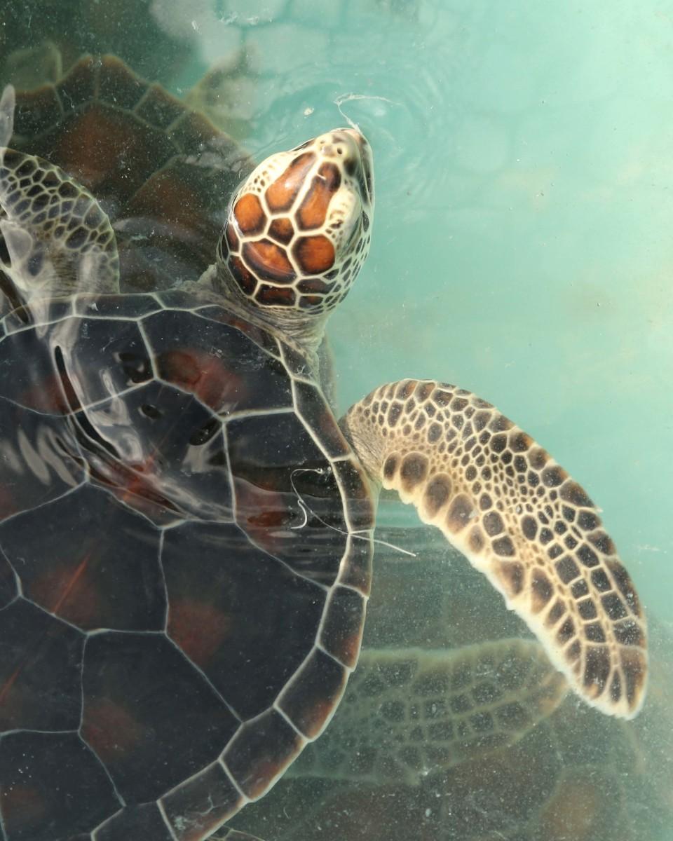 Sea Turtle at the Cayo Largo Sea Turtle Rescue Center