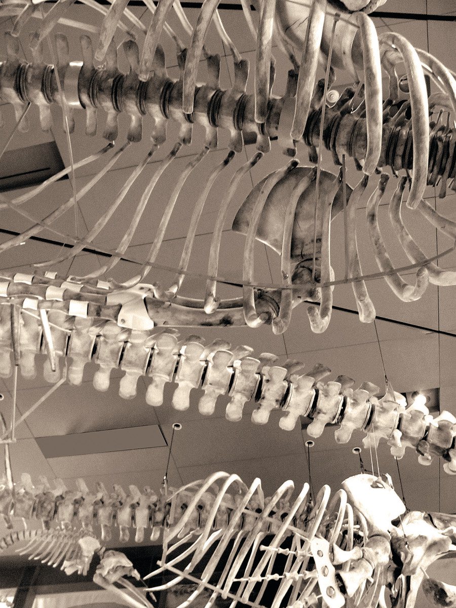 Three imposing baleen whale skeletons greet museum visitors on arrival.