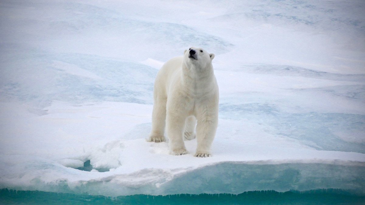 Polar bears rely on the pack ice in their hunt for seals. This bear may never have seen a ship before and came within 40 meters—clearly puzzled by what he saw.