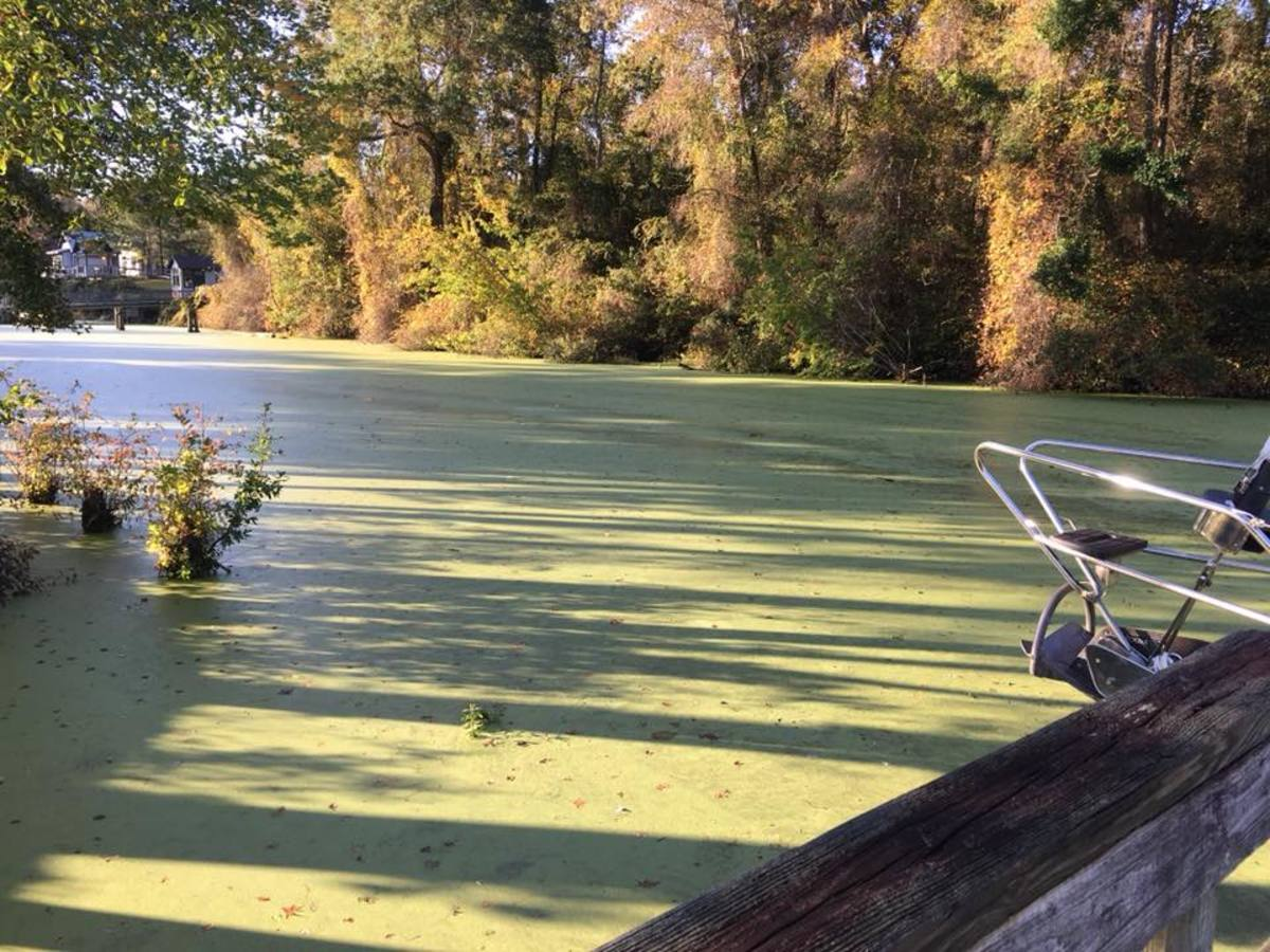Duckweed floats on or just beneath the surface of still or slow moving bodies of fresh water and wetlands. It spreads easily and can become abundant on the surface of the water. Stagnant water and heat are needed for this plant to grow.