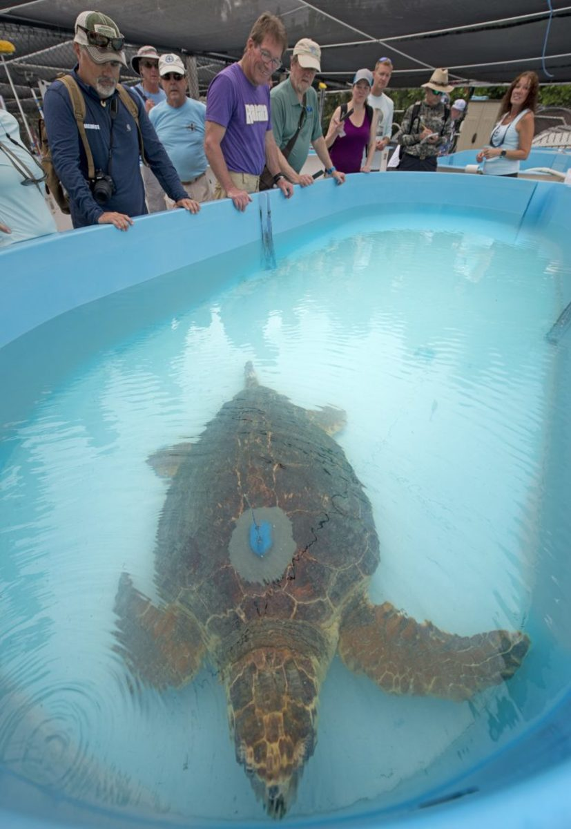 Boating writers ogle Mr. T at The Turtle Hospital just before his release on 5/7/2019.