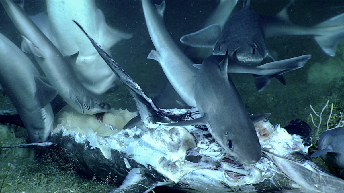 The science team noticed a number of sharks towards the end of the dive and came upon a group of them feeding on a billfish that looked like it hadn't been on the seafloor for too long.