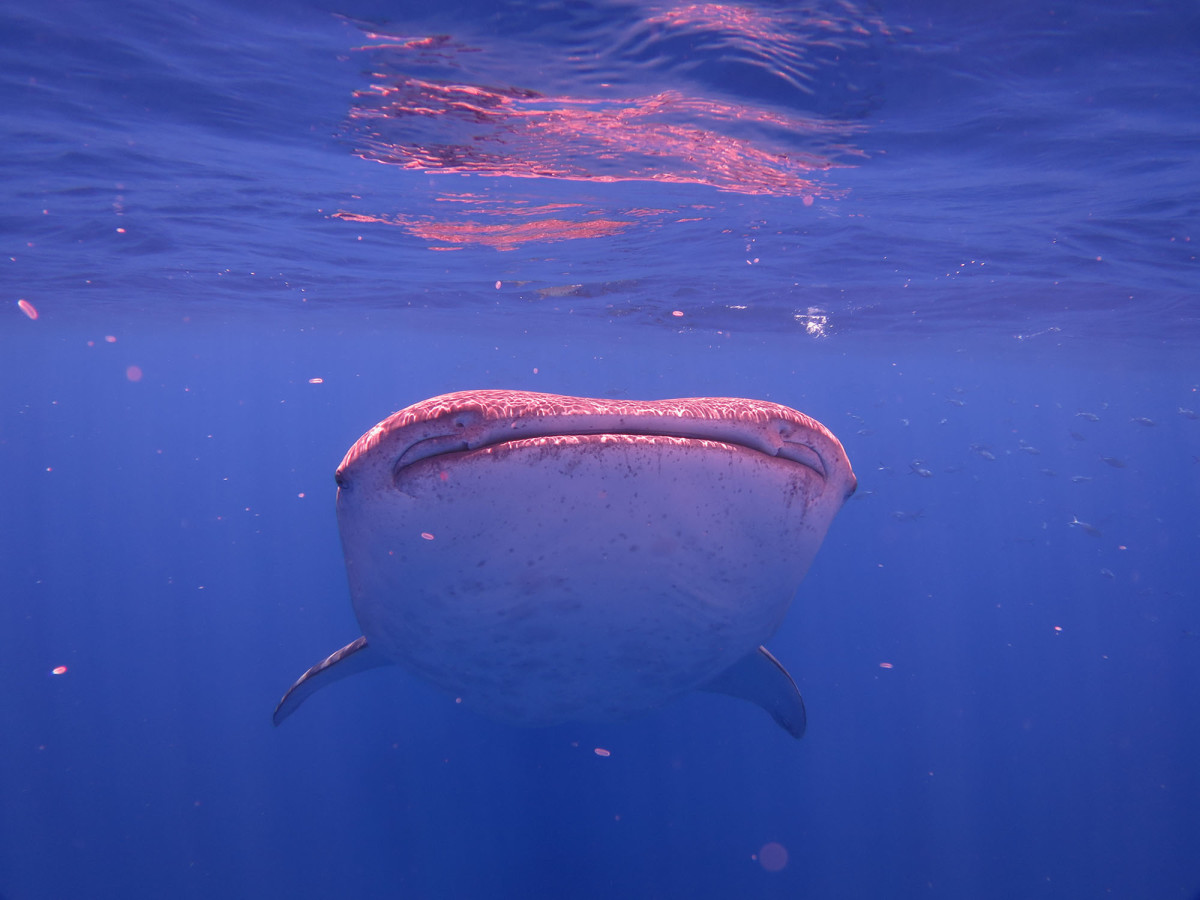 The waters surrounding St. Helena are very much alive and encounters with whale sharks are entirely possible from January to March.