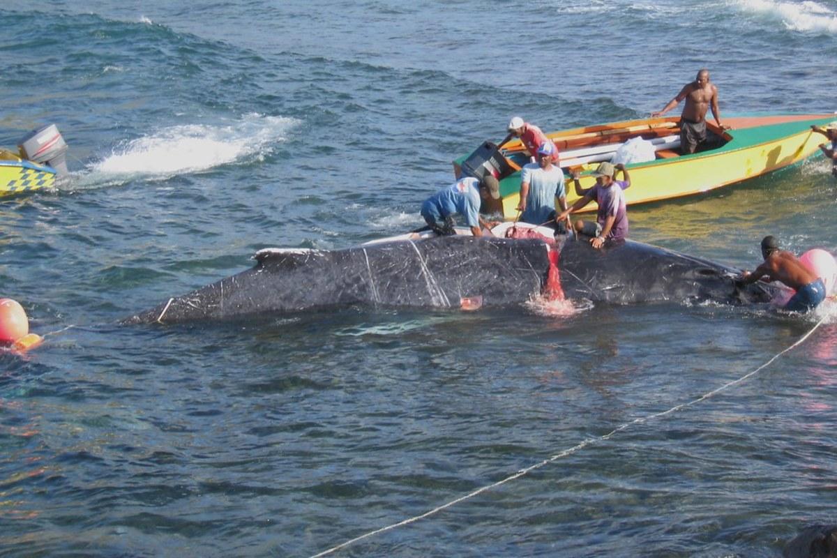 Bequia islanders butcher a whale.