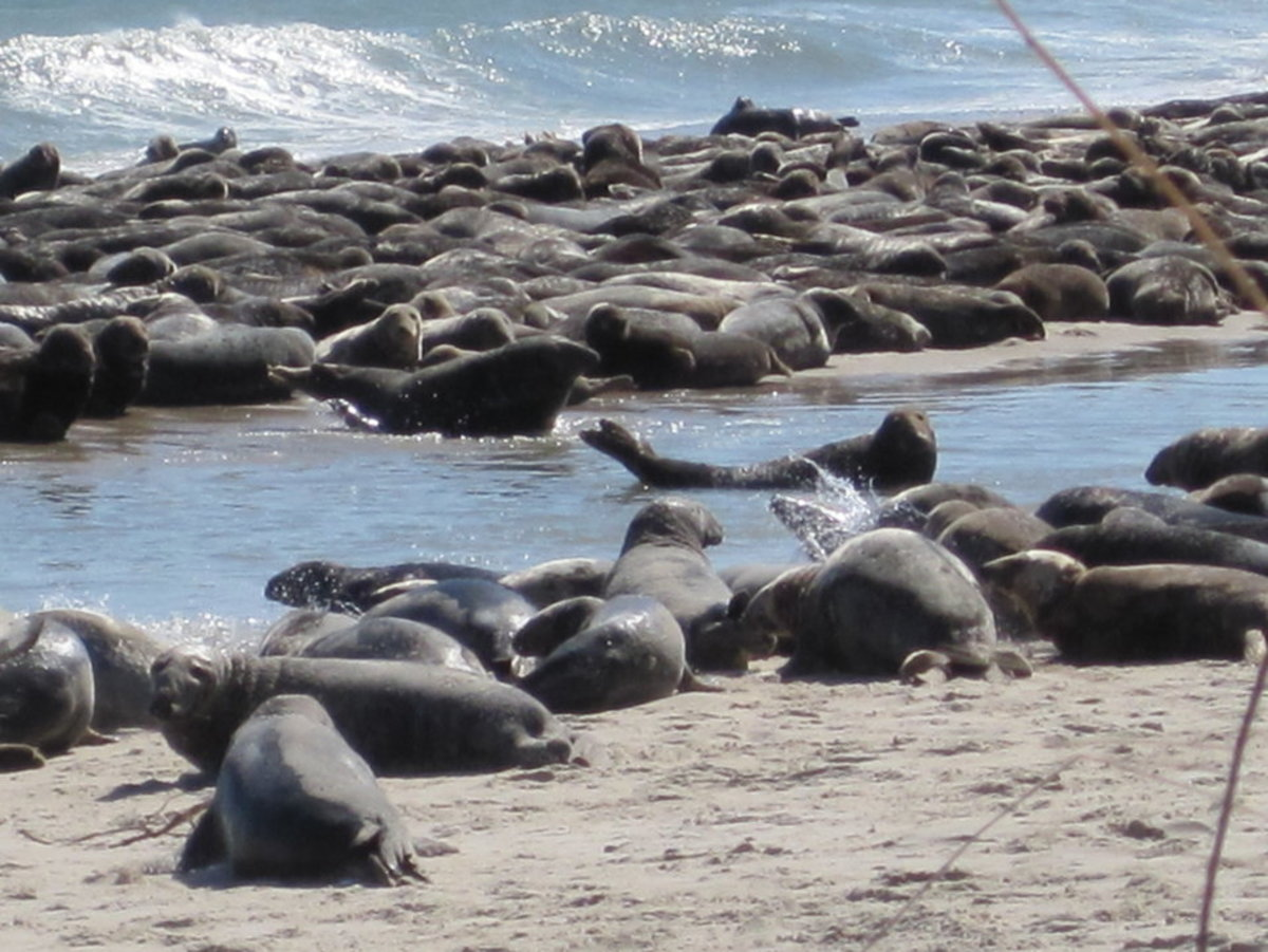 Forty seven years after passage of the Marine Mammal Protection Act, seals are thrive in New England waters, including here on Cape Cod, where they are arrayed like a buffet at the Great White Inn.
