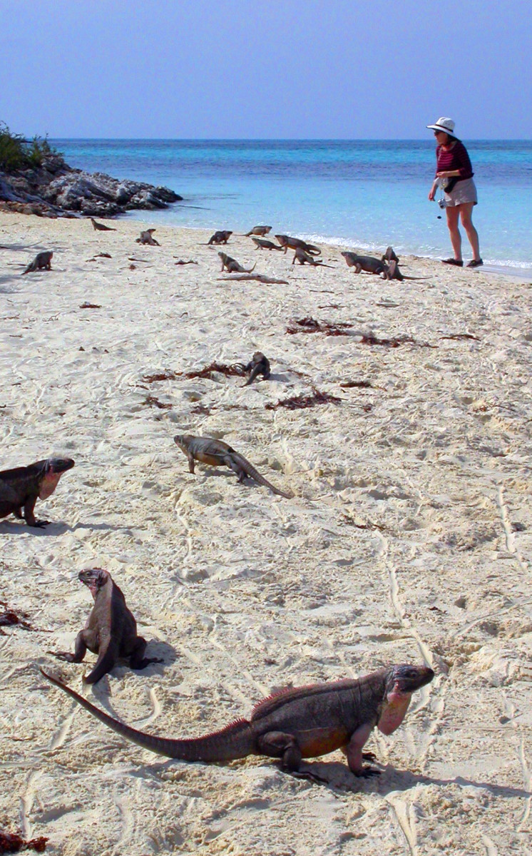 The famed iguanas of Leaf Cay, which helps form the anchorage at Allens.