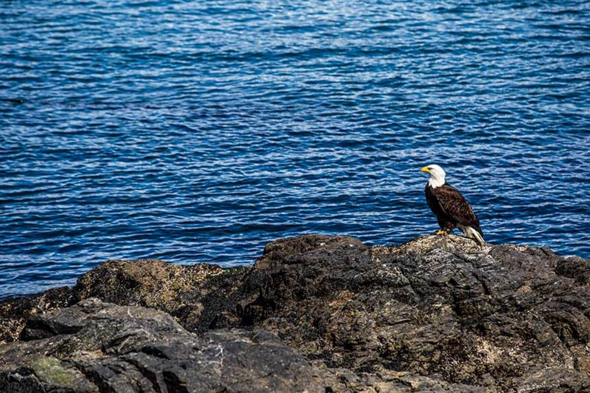 A bald eagle perches on a rock outcrop near Cattle Point